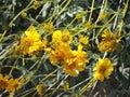 Yellow Brittlebush On Tonto Hi...