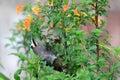 Yellow browed honeyeater melidectes rufocrissalis in tari papua new guinea Royalty Free Stock Images