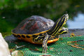 Yellow brown turtle with long neck Royalty Free Stock Photography