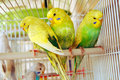 Yellow budgerigars Royalty Free Stock Image
