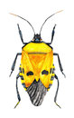Yellow bug a watercolor illustration of a man faced stink catacanthus incarnatus also called samurai beetle this is from Stock Photo