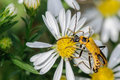 Yellow bug on a white flower large and black insect Stock Photo