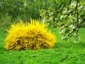 Yellow bush with blooming cherry trees in city park Stock Photo