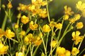Yellow buttercup flowers in meadow and summer day Royalty Free Stock Photo