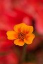 Yellow buttercup (Ranunculus)