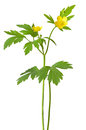 Yellow buttercup (Ranunculus repens) flowers