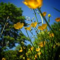 Yellow buttercups contrasting against a beautiful summer sky idyllic shot of deep blue with blurred trees and hedgerow in Stock Photos
