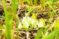 Yellow Butterflies Feeding On The Ground Royalty Free Stock Photo