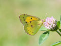 Yellow butterfly Colias hyale pale clouded on clover flower. Summer time landscape. macro view, soft focus Royalty Free Stock Photo