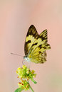 Yellow butterfly and flower with pink a on a soft background Royalty Free Stock Image