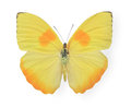 Yellow butterfly isolated on white background Royalty Free Stock Image