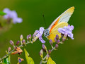 Yellow butterfly on purple bush Stock Image