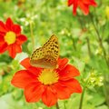 Yellow butterfly on a red flower. Royalty Free Stock Photo
