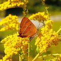 Yellow butterfly resting on a flower Royalty Free Stock Photos