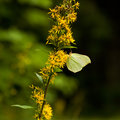 Yellow butterfly sitting on flower.(gonepteryx rhamni) Royalty Free Stock Photo