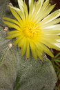 Yellow cactus  flower of the genus Astrophytum Royalty Free Stock Photography