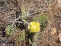 Yellow Cactus Flower Royalty Free Stock Photo