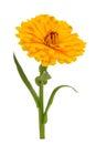 Yellow Calendula Officinalis (Pot Marigold) Flower Isolated on White Background Royalty Free Stock Photo