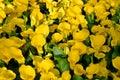 Yellow calla lilies Royalty Free Stock Photo