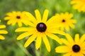 Yellow camomile nice among others Royalty Free Stock Photo