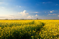 Yellow canola field blue sky and windmill groningen netherlands Royalty Free Stock Photo