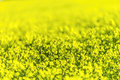 Yellow canola field ripe narrow depth of used to allow for text overlay Stock Image