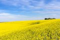 Yellow canola flower and blue sky in palouse washington state Royalty Free Stock Photo