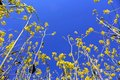 Canola field in bloom under blue sky Royalty Free Stock Photo