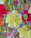 Yellow carnation flower closeup pale Royalty Free Stock Images