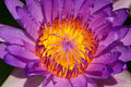 Yellow carpel of purple lotus close up on the water lily Royalty Free Stock Photo