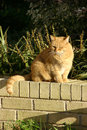 Yellow Cat Brick Wall Royalty Free Stock Images