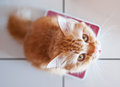 Yellow cat on weighing scale Royalty Free Stock Photo