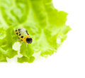 Yellow caterpillar on lettuce leaf macro of pest isolated white Royalty Free Stock Photos