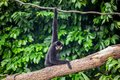 Yellow Cheeked Black Gibbon