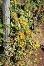 Yellow Cherry Tomatoes Royalty Free Stock Photo
