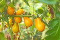 Yellow cherry tomatoes pear shaped on green branch Royalty Free Stock Photo