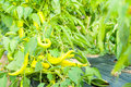 Yellow chilies  growing as eco friendly farming Royalty Free Stock Photo