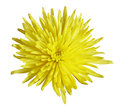 Yellow Chrysanthemum Stock Photography