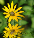 Yellow chrysanthemum Royalty Free Stock Photo
