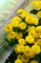 Yellow Chrysanthemum Bunch Royalty Free Stock Photo
