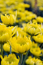 Yellow chrysanthemum close up Royalty Free Stock Photos