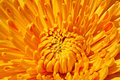 Yellow chrysanthemum close up of Stock Photography