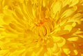 Yellow chrysanthemum close up of Royalty Free Stock Image