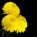 Yellow chrysanthemum close up on black background Royalty Free Stock Images