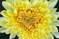 Yellow chrysanthemum closeup macro a background Royalty Free Stock Images