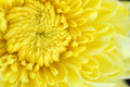 Yellow chrysanthemum closeup macro a background Stock Photo