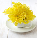 Yellow chrysanthemum in a cup on a white wooden background Royalty Free Stock Images