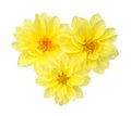 Yellow chrysanthemum dahlia three isolated on white Stock Images