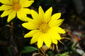 Yellow chrysanthemum flower Stock Images