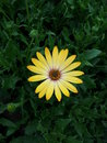 Yellow chrysanthemum flower a symmetrical in a bush Royalty Free Stock Photo